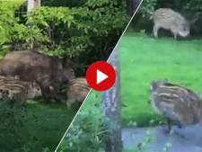 Video van de Dag | Schattig of schrikken? Wilde zwijnen met jongen duiken plots op in Hattemse achtertuin