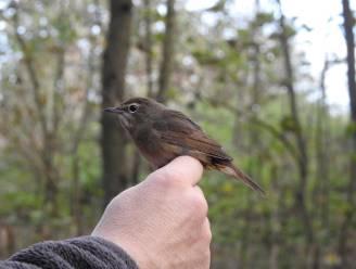 Nooit eerder zoveel vogels geringd in het Zwin als dit najaar, en zelfs enkele zeldzame soorten