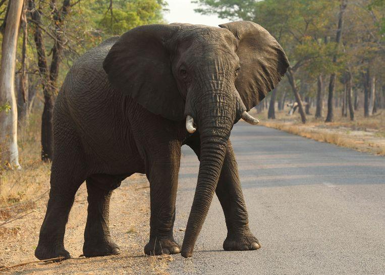 Een Afrikaanse olifant.  Beeld AP