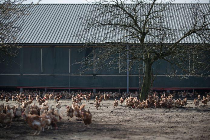 De keuze om vanaf 2023 volledig over te stappen op Beter Leven-kip verbetert volgens Wakker Dier het leven van 35 miljoen kippen per jaar. Ze krijgen daglicht en kunnen naar buiten lopen.