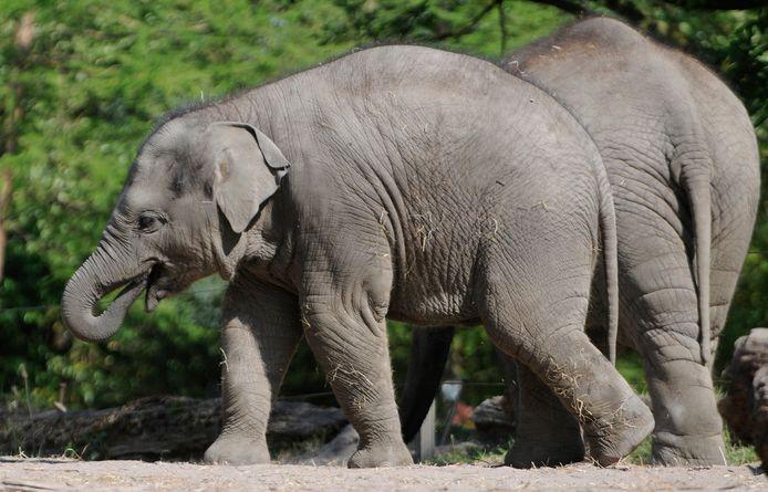 Een olifant in Diergaarde Blijdorp.