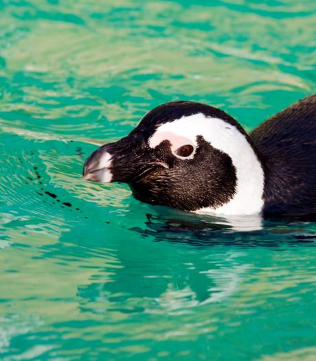 Pinguïns bij kanaal in Helmond? Zwarte weduwe in Eindhoven? 'Stadsmensen herkennen dieren niet meer'