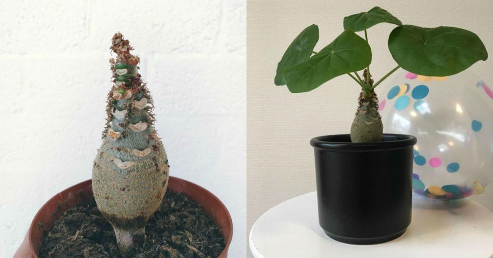 De jatropha podagrica slaat water op in z'n bolvormige stam.