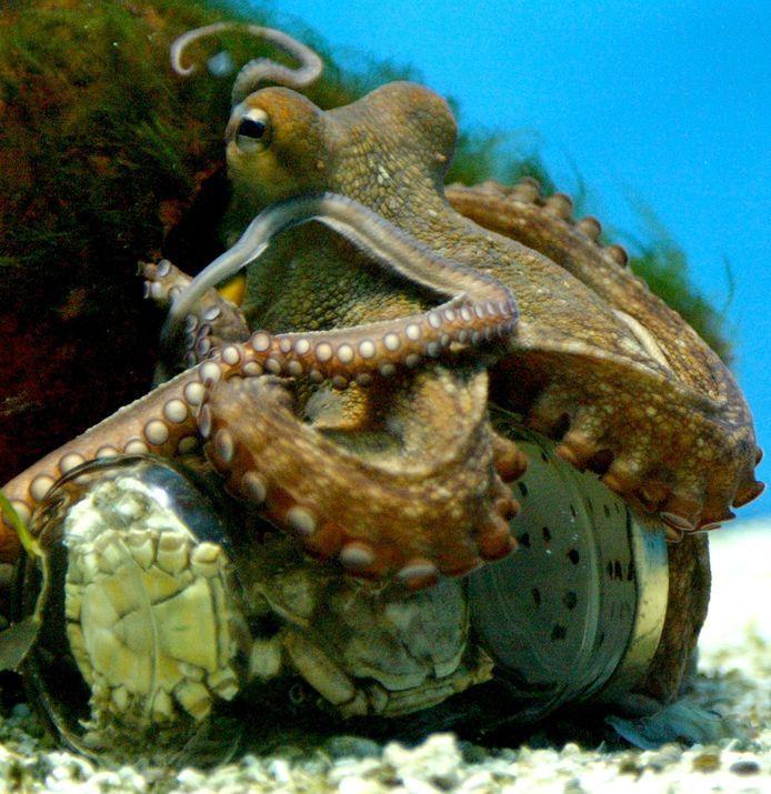 Octopussen zijn erg slim en kunnen bijvoorbeeld zelf een pot opendraaien.