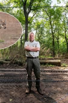 Wolf doodde moeflon in park De Hoge Veluwe: dna-onderzoek bewijst 't