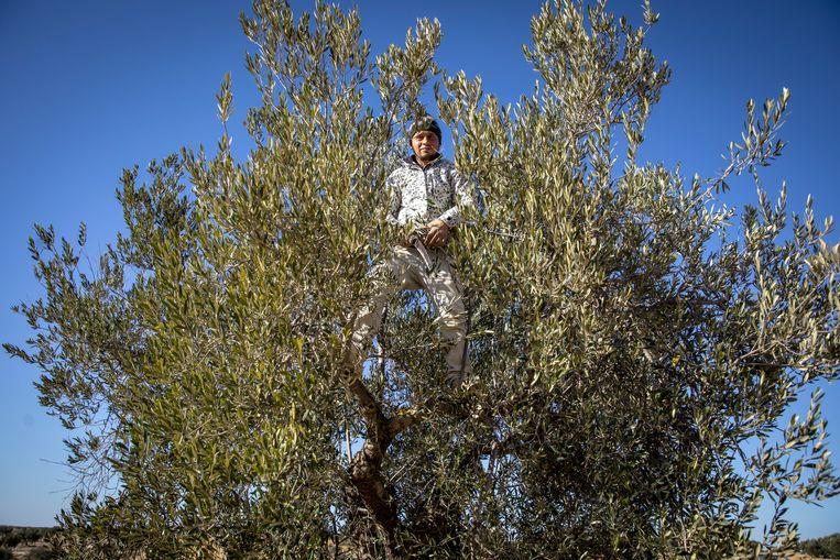 In de olijfgaard van Slim Rekik snoeit een medewerker een olijfboom. Rekik gebruikt niet de traditionele Tunesische chemlali-boom, maar snellere Spaanse en Griekse varianten. Beeld Sven Torfinn / de Volkskrant