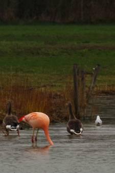 Flamingo's landen in Winterswijk: 'Ze zijn hun buurtje aan het verkennen'