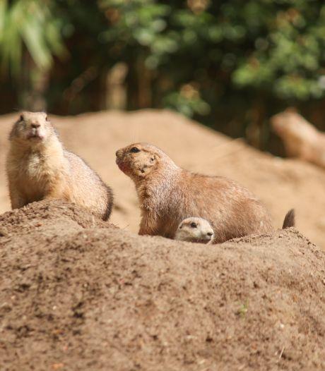 Prairiehondjes geboren in Dierenpark Amersfoort