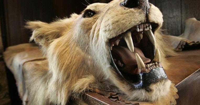 Archieffoto van het hoofd en de huid van een geschoten leeuw. Beeld AP