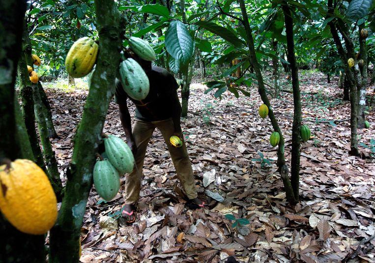 Een cacaoboer in Toumodi, Ivoorkust.  Beeld Reuters