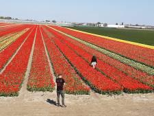 Bollenkoorts: geknakte tulpen, gestolen bloemen en gevaarlijke capriolen op de weg: 'Hier staat het geld van een ander'
