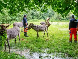 Weide in Herne dreigt onder te lopen: hulpdiensten evacueren ezels en paard