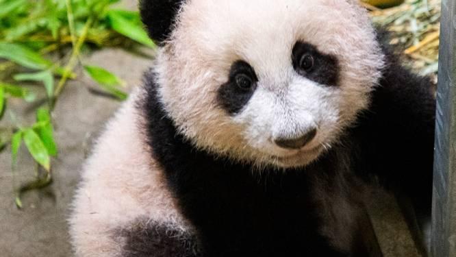 Pandajong Fan Xing later te bewonderen in Ouwehands Dierenpark