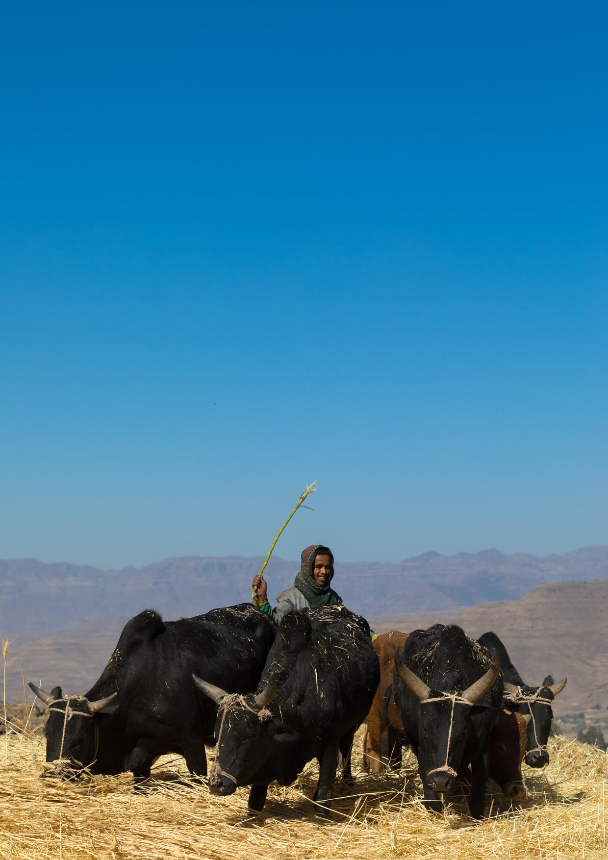 Een boer in het Ethiopische Lalibela dorst het graan met zijn ossen.