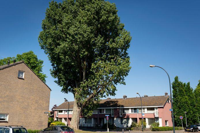 De gemeente Waalwijk wil de markante populier in de Van Lovenlaan kappen. Maar er is weer verzet.