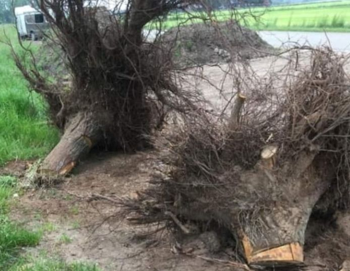 De boomstronken langs de Harterinkdijk