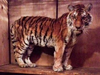 Siberische tijgerin die tegen al haar instincten in hulp zocht bij de mens, overleden