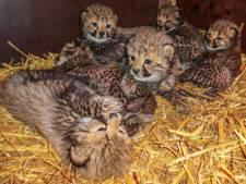 'Wonder' in Beekse Bergen: Cheeta adopteert drie andere welpjes