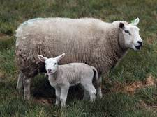 Zorgen over schapen in Ussen