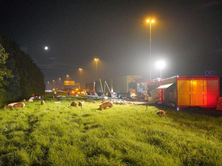 Trailer met 100 varkens kantelt op de A73 bij Nijmegen