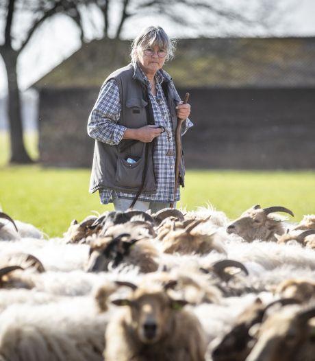 Staatsbosbeheer belooft aanpassingen in afrastering De Paardenslenkte in Hezingen om wolven af te schrikken