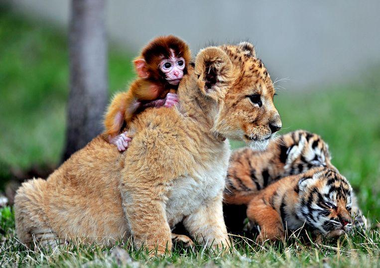 Een baby aapje is op de rug geklommen van een jong leeuwtje, terwijl een tijgerwelpje naast ze ligt te slapen, in een tijgerpark in Shenyang, China.   Beeld Reuters