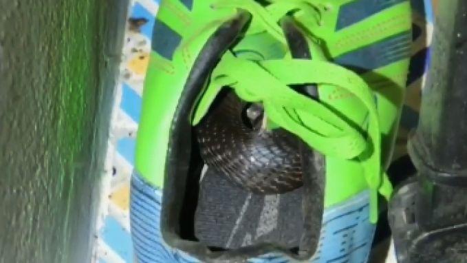 Jongetje (10) merkt net op tijd dat cobra in zijn schoen zit