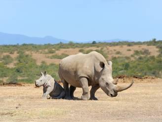 Zuid-Afrikaan wil 80 neushoorns overbrengen naar Australië