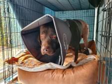 Pup Lex geopereerd na succesvolle crowdfunding: 'Blij en dankbaar, maar het is nog wel spannend'