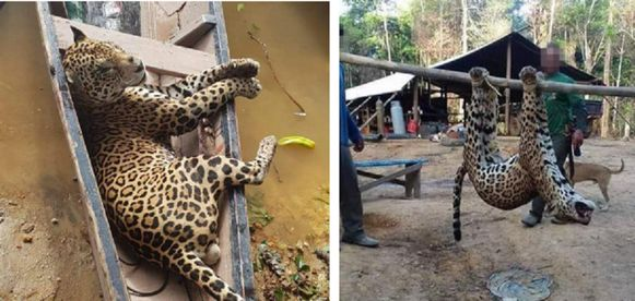 Gedode jaguars in een kano en aan een paal.