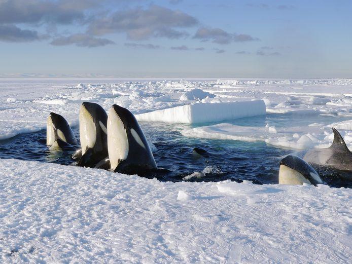 Orka's in de Noordelijke IJszee.