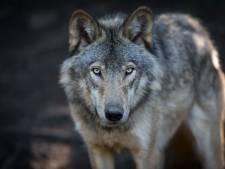 16.000 euro voor gouden tip: wie schoot wolf GW1490m dood?