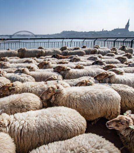 File door schapen op Snelbinder: tweehonderd dieren steken Waal over op weg naar groene dijken in Arnhem