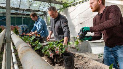 Straathoekwerkers steken kwetsbare gezinnen hart onder de riem met aardbeiplantjes