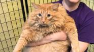 Kat van bijna 16 kilo moet op dieet nadat dement baasje hem maar bleef eten geven