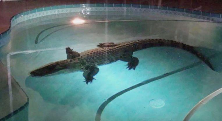 Alligator in zwembad