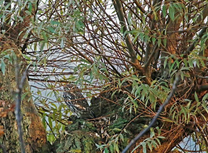 De knotwilg is een geliefde schuil- en verstopplek voor de steenuil.