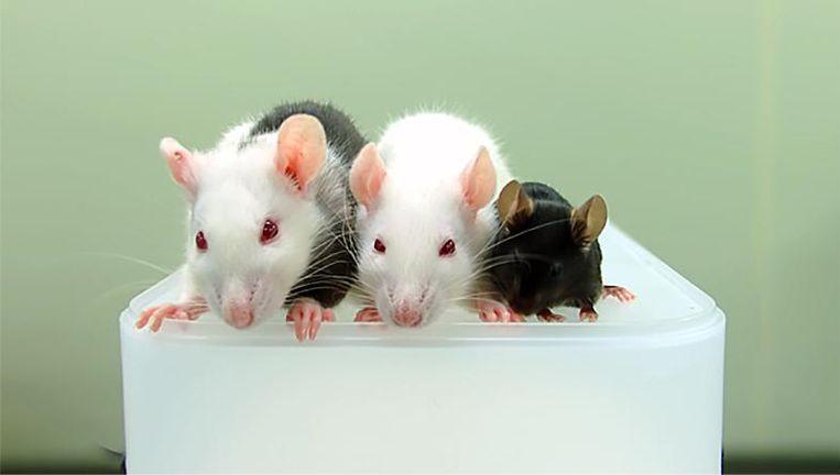 Van links af: de 'gehusselde' ratmuis, een gewone rat en een gewone muis. Beeld Nature