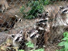 Ook laatste Limburgse wasberen gaan naar stichting AAP