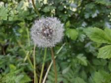 Hatsjie! De komende dagen zijn er ontzettend veel pollen in Gouda