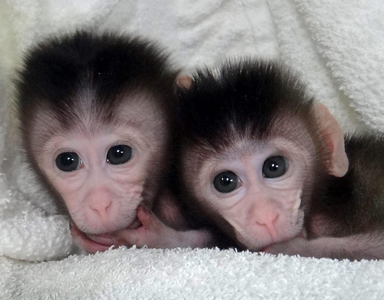 Twee java-aapjes die begin vorig jaar met behulp van Crispr-Cas genetisch werden bewerkt. Beeld Liu et al., Cell