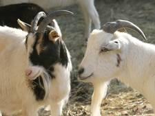 Onrust over nieuwe geitenstal  in Teteringen
