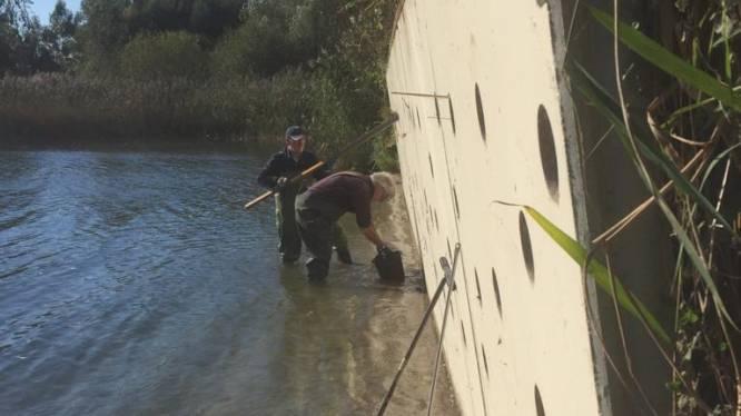 'Al het zand is weggespoeld'; oeverzwaluwwand op Berkendonk buigt steeds verder naar het water toe