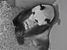 Babypanda is een week oud: 'Tot nu toe gaat alles goed'