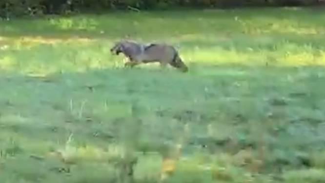 Voorbijganger maakt prachtige videobeelden van wolf in wandelgebied in Opoeteren
