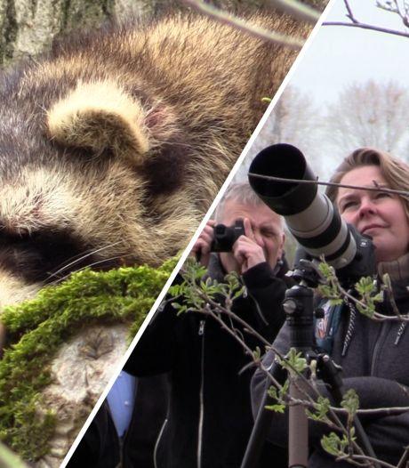 Vughtse wasbeer geadopteerd dankzij gulle gift aan Partij voor de Dieren: 'Publiek mag haar een naam geven'