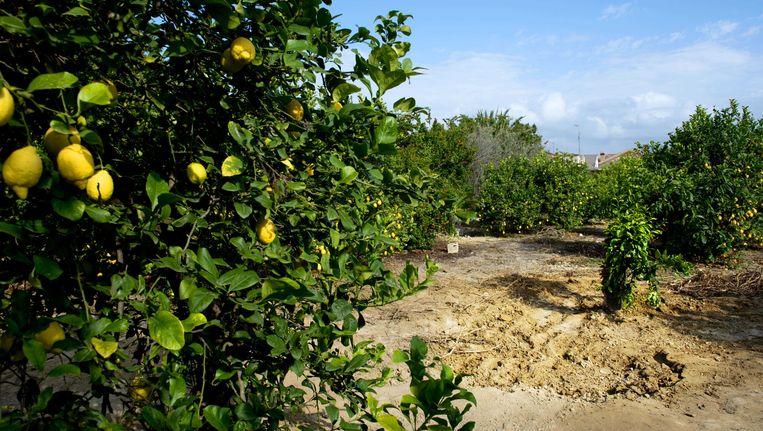 De citroenboomgaard in Alquerías, ongeveer 12 kilometer van Murcia, waar de Spaanse politie de lichamen heeft aangetroffen van de Oud-volleybalster Ingrid Visser en haar partner Lodewijk Severein. Beeld ANP