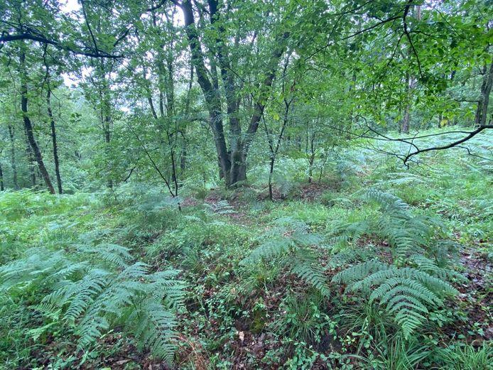 Op deze plek in het Dilserbos werd Jürgen Conings gevonden. Zijn lichaam lag onder aan een eikenboom en op een helling, en werd aan het zicht onttrokken door varens.