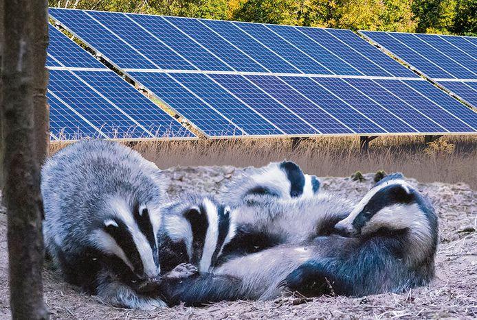 Kunnen dassen wel of niet leven in op grond die is volgebouwd met zonnepanelen? Daarover verschillen de meningen.