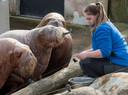 Voorlopig zijn ze nog even te bewonderen als het Dolfinarium opgengaat: de walrussen.